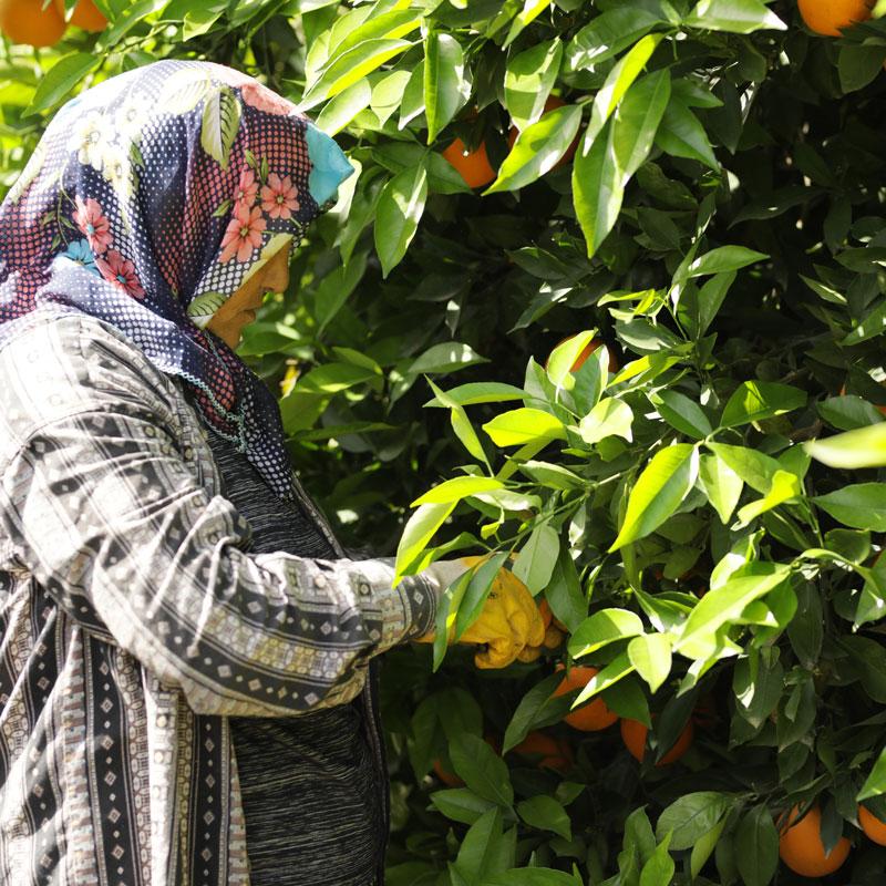Orangen werden geerntet von der AS Saft Plantage