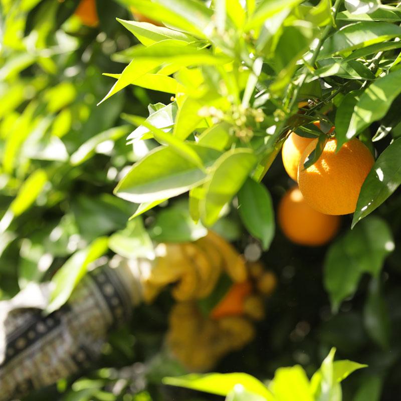Orangen während der Erntezeit