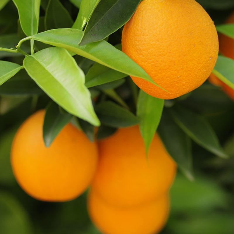 Orangen Nahaufnahme