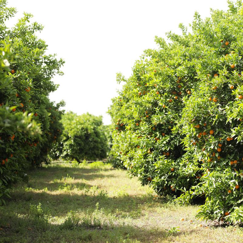 Orangen Plantage in der Türkei