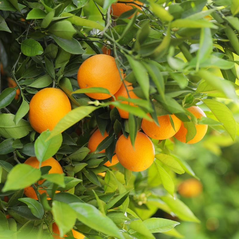 Orangen von der AS Saft Plantage