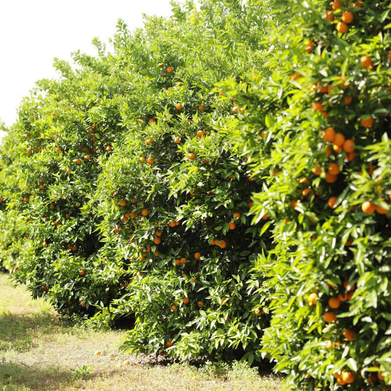 AS Saft Plantage in der Türkei