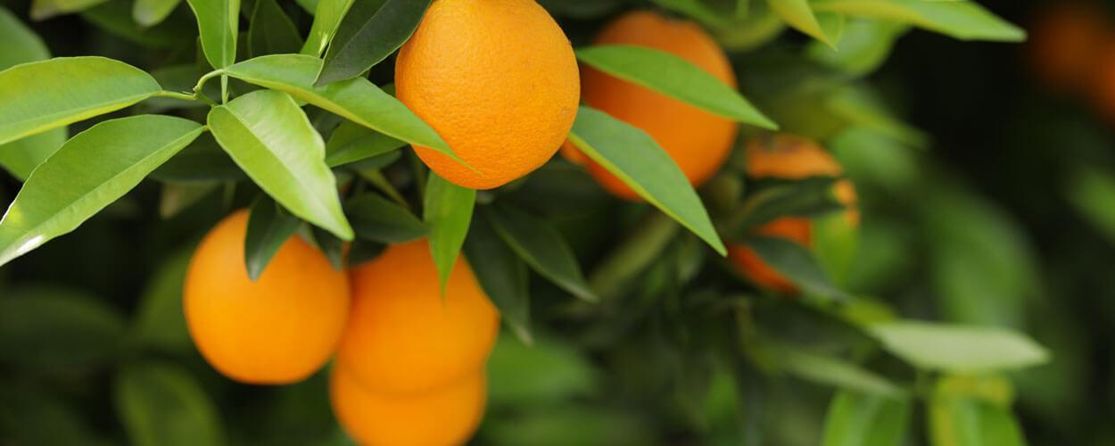 Nahaufnahme der AS Saft Orangen